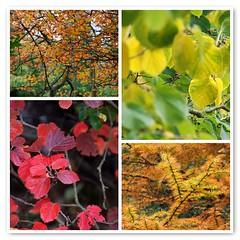Leafing Through Autumn at Sheffield Park & Garden (antonychammond) Tags: uk autumn england leaves fdsflickrtoys nationaltrust eastsussex potofgold sheffieldparkgarden natureplus firsttheearth esenciadelanaturaleza newphotodistillery