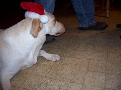 Buckeye - yellow Labrador Retriever