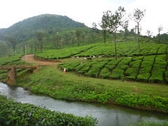 Tea plantations & Pickers (jessnphoto) Tags: bridge india green nature trekking trek river walking outside outdoors scenery tea indian raleigh international openair southindia teaplantations teapickers