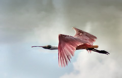 Spoonbill (dbullens) Tags: nature birds florida floridakeys spoonbills spoonbill roseate roseatespoonbill tavernier specanimal friendlychallenge thechallengefactory tripleniceshot tavernierfloridakeys