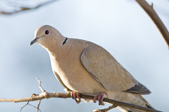 Collared Dove (Streptopelia Decaocto) in a Rowan Tree (Steve Greaves) Tags: wood pink winter light brown black cold tree bird closeup garden grey wooden beige december bokeh pastel pigeon dove wildlife freezing aves naturalhistory perch redeye perched collar common rowan avian coo mountainash barnsley southyorkshire collareddove eurasiancollareddove perching streptopeliadecaocto darfield nikond300 nikonafsii400mmf28ifed