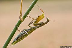 Mantis (Carlos J. Teruel) Tags: espaa macro mantis nikon murcia 2010 d300 105mm caravaca nikkor105mmf28gvrmicro xaviersam fotoencuentrosdelsureste