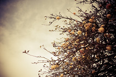 Apple Blossom Tree (aleckc) Tags: england lumix micro43 panasonicdmcgf1 panasonicgf1