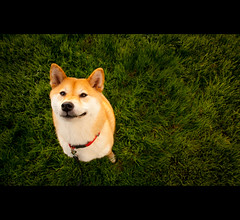 Loyalty - 51/52 (kaoni701) Tags: sf portrait cute smile grass project puppy japanese nikon san francisco fluffy suki shibainu missionbay shibaken  24mmf14 week52 d700 onemoretogo 52weeksfordogs