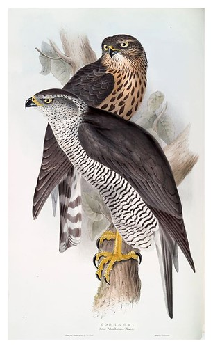 006-Azor- The birds of Europe Tomo I-1837- John Gould