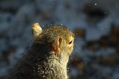 Squirrel (momcat14c) Tags: winter snow newjersey squirrel december nj patio gremlin bluecat mercercounty 2010 graycat canon500d rescuedpet gremmie grem canoneosrebelt1i