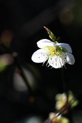 (samyaoo) Tags: bokeh plum taiwan     plumblossoms  sanyi   miouli ef100mmmacrof28