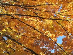 great canopy (birchloki) Tags: trees yards light ohio sky tree leaves yard rural leaf maple maples smalltown edon edonohio