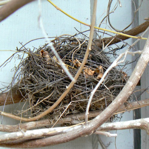 California Towhee nest