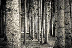 Trees of a similar age (Mike Wood Photography) Tags: lighting trees winter blackandwhite bw forest outside eos woods side arr allrightsreserved uniformity nosnow mikewood blackwhitephotos 450d mikewoodphotographycom mikewoodphotography