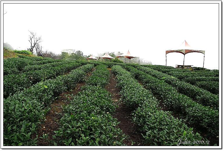 玉蘭茶園 (8)
