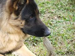 German Shepherd eating Pine Needles