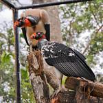 20101229_BZE Zoo_King Vulture_2526.jpg thumbnail