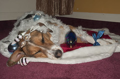 My 2011 Christmas Tree - Sydney (Wendy Johnson) Tags: snowflake christmas winter rescue holiday tree dogs puppy decoration sydney dressedup ornaments bow adelaide mansbestfriend addy gooddog rescuedog gussiedup itsadogslife williamwegman wendykjohnson