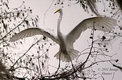 Great Egret - Lake Martin, Louisiana (Image Hunter 1) Tags: nature birds wings louisiana tail feathers bayou swamp spanishmoss marsh wingspan greategret cypresstree lakemartin wingspread t2i birdslouisiana 55250is cypressislandpreserve canont2i