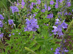 VERONICA austriaca ssp. teucrium 'Crater Lake Blue'