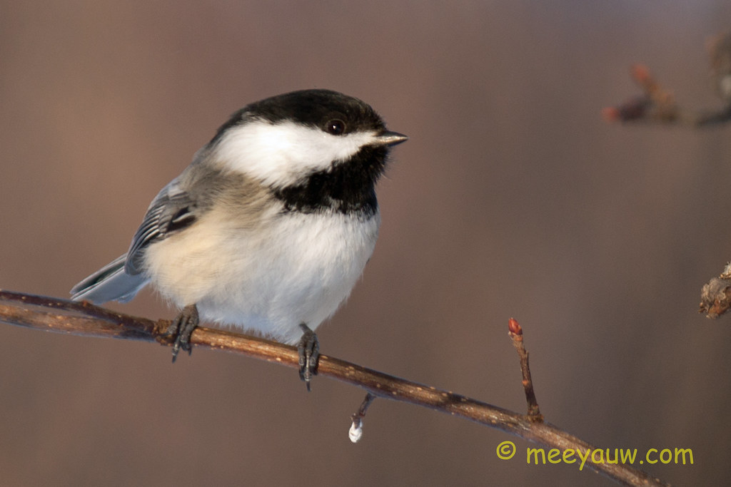 Black-capped chickadee   11.jpg