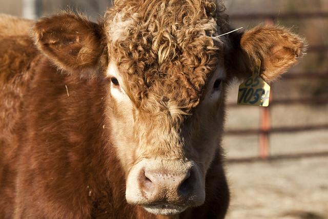 2011 01-02 Adam Thede - Cow in Arkansas