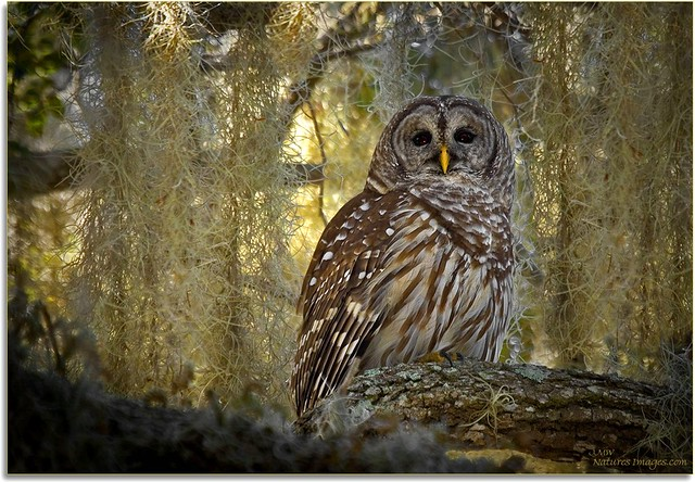Kissimmee Barred Owl