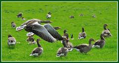 Greylag Geese (Jan Visser Renkum) Tags: birds vogels anseranser greylaggoose grauwegans