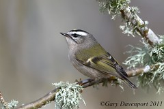 Golden-Crowned Kinglet (Garebear400) Tags: wild bird nikon wildlife nwr d300 ridgefield kinglet regulussatrapa fantasticnature mothernaturesgreenearth golden0crowned