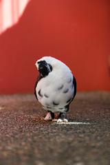 Do not Disturb (Jason Mendoza) Tags: pigeon canonefs1755mmf28isusm fancypigeon canoneos550d orientalfrill