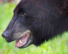 Black Bear (Susan Roehl) Tags: animal blackbear
