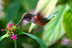 PHOTOGRAPHING HUMMINGBIRDS...IS LIKE CATCHING A FLY WITH CHOPSTICKS (BreakingWindPhotography) Tags: california reserve palmdesert livingdesert rufoushummingbird naturesgarden flickrsilver natureplus flickrbronze mygearandme mygearandmepremium mygearandmebronze mygearandmesilver mygearandmegold mygearandmeplatinum notveryeasytrustme