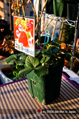 new-everbearing-strawberry-for-my-little-garden-in-japan1
