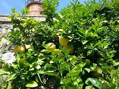 Lago Maggiore Isola Bella pianta di limoni