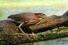 Green Heron (Lois McNaught) Tags: greenheron heron bird avian nature wildlife summer outdoor aquaticbird hamilton ontario canada