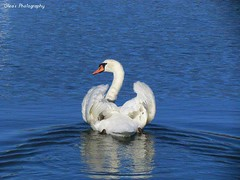 Swan Beauty (GleaHPhotography) Tags: swans nature wildlife photoraphy spring
