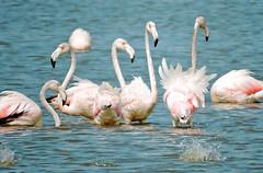 Flamingos company (Samy Teo) Tags: kalochori kaloxori kalohori υδροβιότοποσ λιμνοθάλασσα thessaloniki
