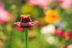 Colors Speak Louder Than Words (preze) Tags: zinnia zinnie blume flower pflanze plant blossom blte flora petals bltenbltter bltenblatt canoneosm3 schrfentiefe outdoor heiter sonnig sunny bunt colorful colourful colored coloured freundlich