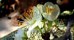 GOLDEN STAMENS in the LIGHT (Lani Elliott) Tags: blossom blossoms plumblossom flower flowers stamens gold white nature naturephotography spring springblossom light bokeh
