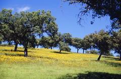 Holm oak groves of Noudar, Barrancos, Portugal (Jim 592) Tags: quercus ilex holm oak grove noudar barrancos alentejo portugal europe
