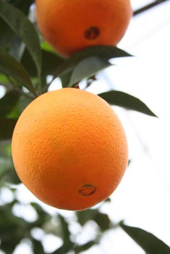 potager NAKANOの柑橘類(その3)