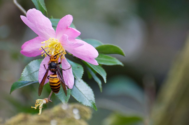 Beauty and the beast - Japanese Hornet