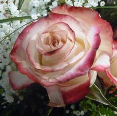 THE QUEEN ROSE (picolojojo) Tags: pink flowers flower color nature fleur colors rose fleurs petals couleurs petal panasonic soe couleur ptale ptales natureselegantshots qualitygold
