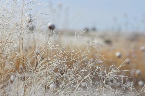 Frosty Grasses 2