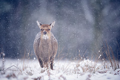 brr, it's winter! (andrew evans.) Tags: wood morning trees winter england white snow nature fairytale forest countryside droplets kent woods bokeh snowy wildlife deer ethereal wonderland storybook magical enchanted