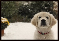 'Let it snow, let it snow, let it snow' | EXPLORED | (Mark Plat) Tags: christmas trees winter red dog white snow cold ice goldenretriever garden puppy golden december action ngc explore frontpage joris intresting canoneos500d canon18200efs