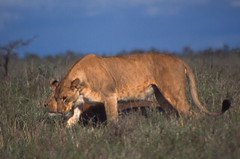 On the prowl (Michael Earley) Tags: wild grass animals bush kenya lions earley michaelearley michaelinitaly