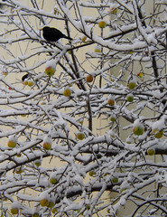 apples and a blackbird (Per Ola Wiberg ~ powi) Tags: snow beautiful december sweden ohhh 2010 swp hiddentreasure eker wrangels globalvillage2 flickrbronzeaward diamondstars eperke flickrsun exemplaryshotsflickrsbest shiningstar beautifulshot brilliantphotography ilikethenature seasonsmagic greatshotss addictedtonature holycreationsofnature naturesribbon doublestaraward fotografaynaturaleza