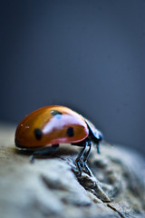 An Adventure Begins (pretty in pixels) Tags: macro closeup bug insect close pentax 11 ladybird ladybug