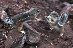 Dueling Squirrels (James Marvin Phelps) Tags: desert mojavedesert goldenmantledgroundsquirrel lakemeadnationalrecreationarea mandj98 jmpphotography jamesmarvinphelps