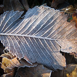 Frosted leaves - Feuilles givrées thumbnail