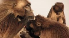 Monkey Grooming (jtkerb) Tags: ethiopia gelada theropithecus guassa