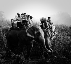 T A N G L E D (souparna) Tags: india elephant animal forest wildlife safari jungle grassland assam kaziranga