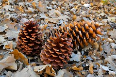 Cones (jan lyall) Tags: mountain fall oregon cones pinecones sugarpine jeffreypine sanbernadinomountainsforest
